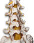 Anatomy of the Lumbar Spine, posterior view